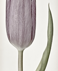 Impressions.Tulip (macro, pastel shades collection)