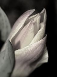 Tulip (macro)