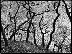 Dancing trees (Lake District)_1