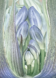 Togetherness (Agapanthus)